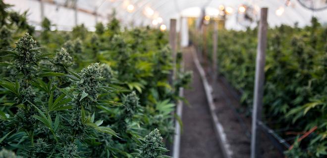 Выращивать коноплю в саду плантации марихуана калифорния