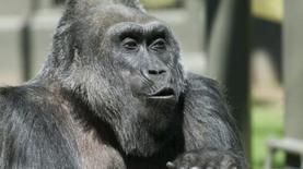 Умерла самая старая горилла, рожденная в неволе