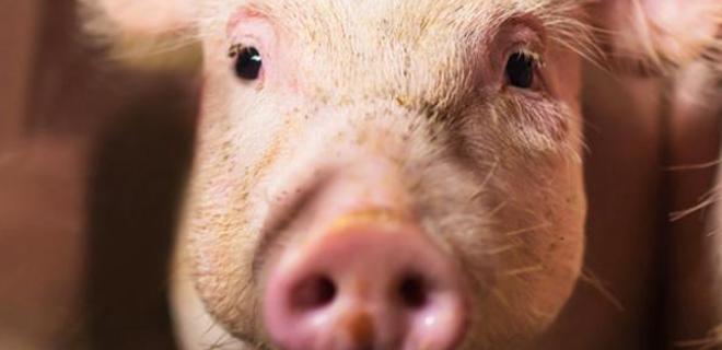 В Украине на 10% сократились продажи свинины на убой - Фото
