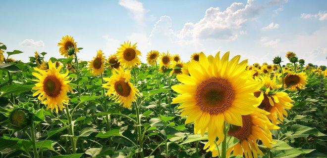 Как защитить подсолнечник и получить хороший урожай - Фото
