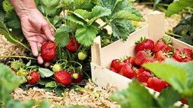В Польше 40% урожая пропадет из-за нехватки украинцев - фермеры